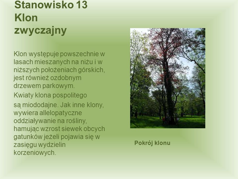 Klon występuje powszechnie w lasach mieszanych na niżu i w niższych położeniach górskich, jest również ozdobnym drzewem parkowym. Kwiaty klona pospoli