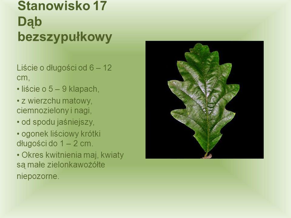 Stanowisko 17 Dąb bezszypułkowy Liście o długości od 6 – 12 cm, liście o 5 – 9 klapach, z wierzchu matowy, ciemnozielony i nagi, od spodu jaśniejszy,