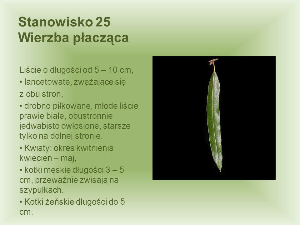 Stanowisko 25 Wierzba płacząca Liście o długości od 5 – 10 cm, lancetowate, zwężające się z obu stron, drobno piłkowane, młode liście prawie białe, ob