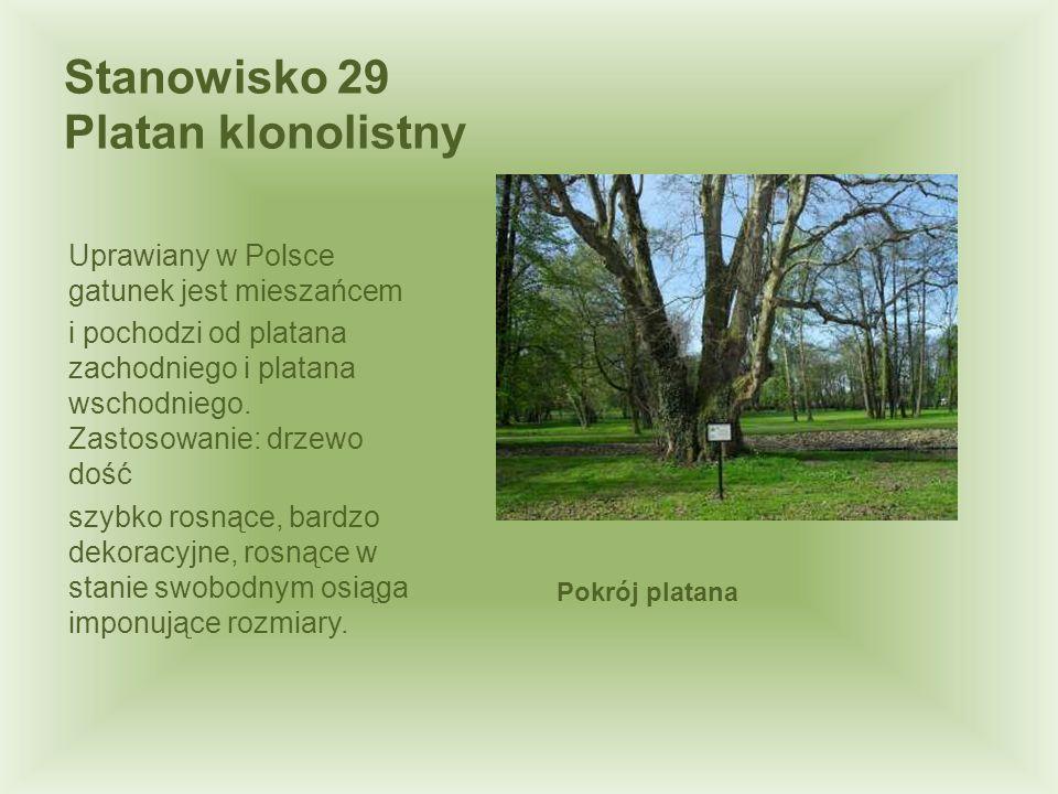 Uprawiany w Polsce gatunek jest mieszańcem i pochodzi od platana zachodniego i platana wschodniego. Zastosowanie: drzewo dość szybko rosnące, bardzo d
