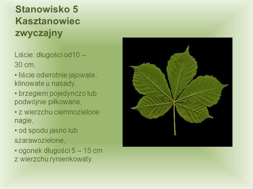 Stanowisko 5 Kasztanowiec zwyczajny Liście: długości od10 – 30 cm, liście odwrotnie jajowate, klinowate u nasady, brzegiem pojedynczo lub podwójnie pi