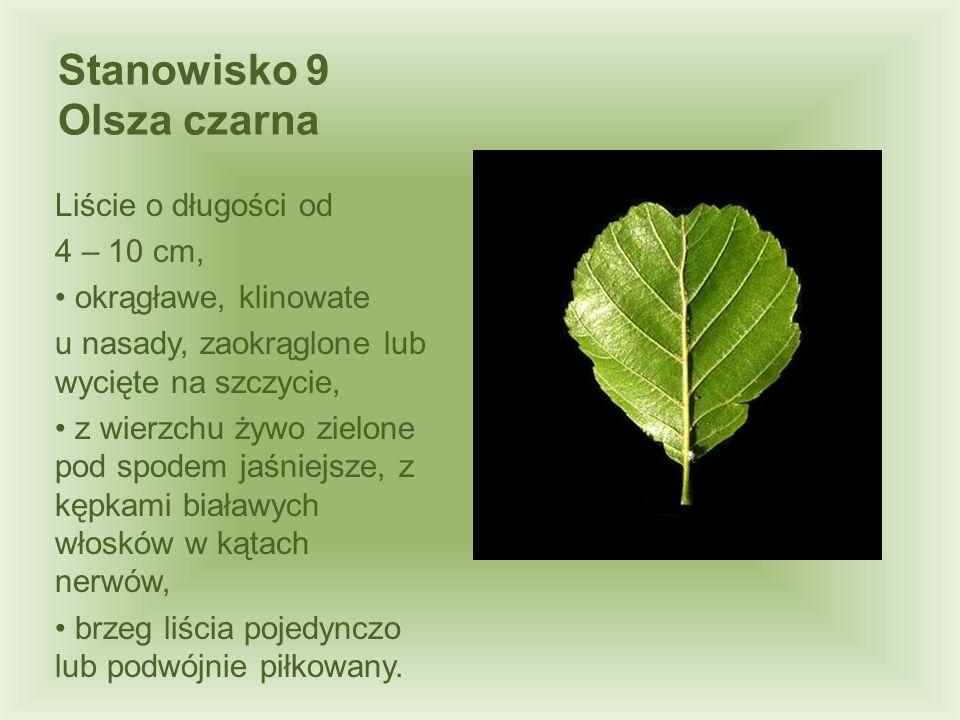 Stanowisko 9 Olsza czarna Liście o długości od 4 – 10 cm, okrągławe, klinowate u nasady, zaokrąglone lub wycięte na szczycie, z wierzchu żywo zielone