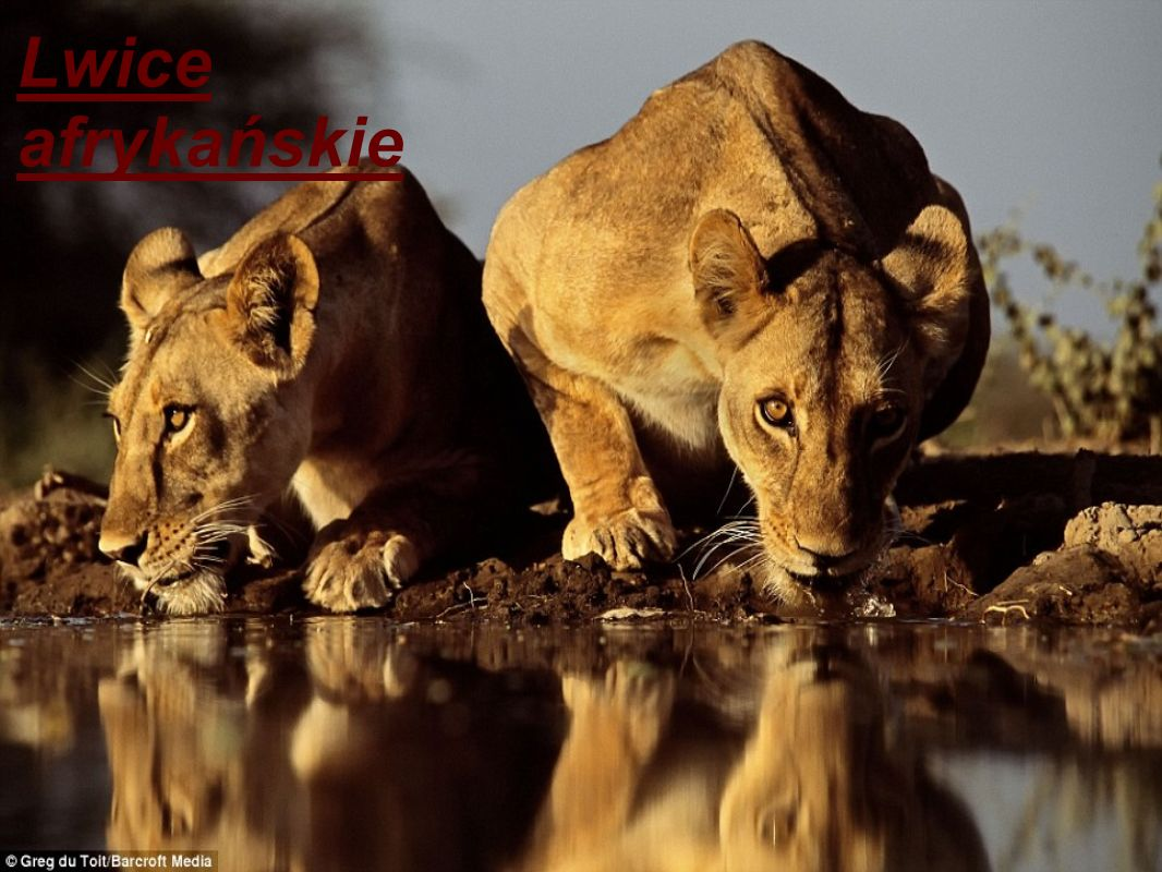 Lwice afrykańskie