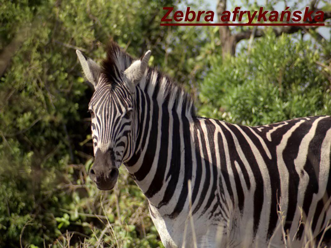 Zebra afrykańska