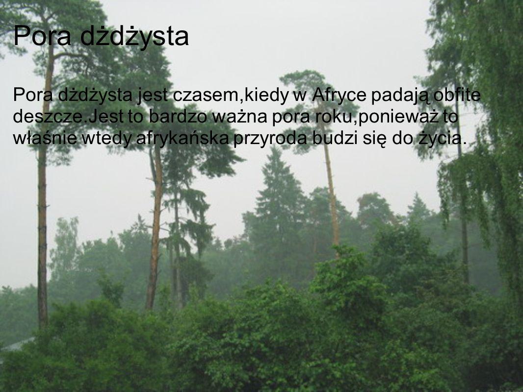 Pora dżdżysta Pora dżdżysta jest czasem,kiedy w Afryce padają obfite deszcze.Jest to bardzo ważna pora roku,ponieważ to właśnie wtedy afrykańska przyr