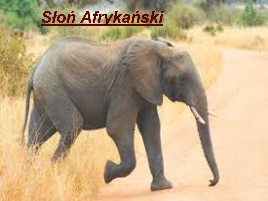Słoń Afrykański.