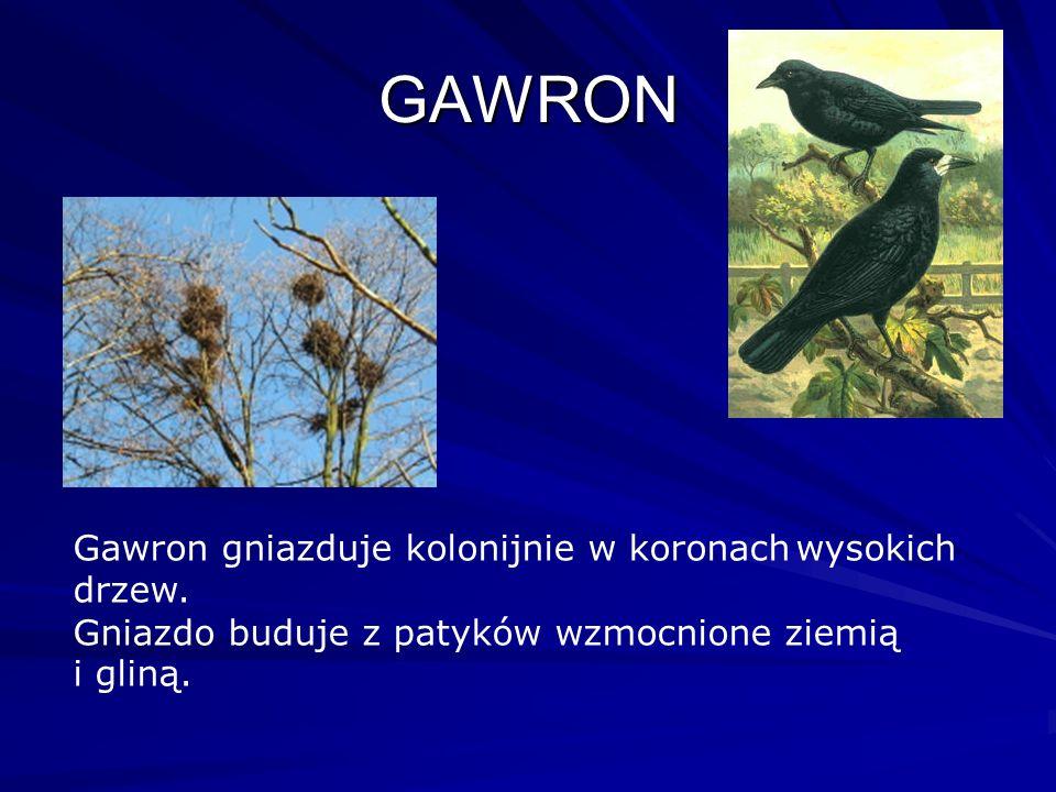 GAWRON Gawron gniazduje kolonijnie w koronach wysokich drzew. Gniazdo buduje z patyków wzmocnione ziemią i gliną.