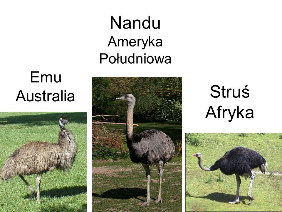 Emu Australia Struś Afryka Nandu Ameryka Południowa