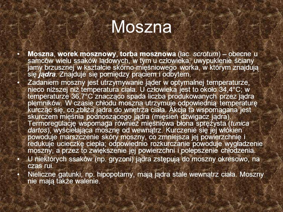 Moszna Moszna, worek mosznowy, torba mosznowa (łac. scrotum) – obecne u samców wielu ssaków lądowych, w tym u człowieka, uwypuklenie ściany jamy brzus