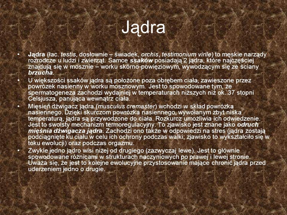 Jądra Jądra (łac. testis, dosłownie – świadek, orchis, testimonium virile) to męskie narządy rozrodcze u ludzi i zwierząt. Samce ssaków posiadają 2 ją