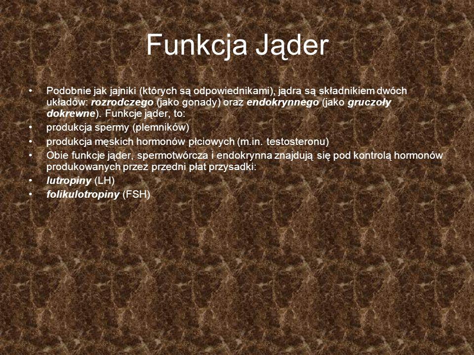 Struktura Jąder Pod wytrzymałą, włóknistą osłonką-błoną białawą (tunica albuginea), jądra zawierają bardzo delikatne kanaliki nasienne (tubuli seminiferi) kręte (contorti) i proste (recti).