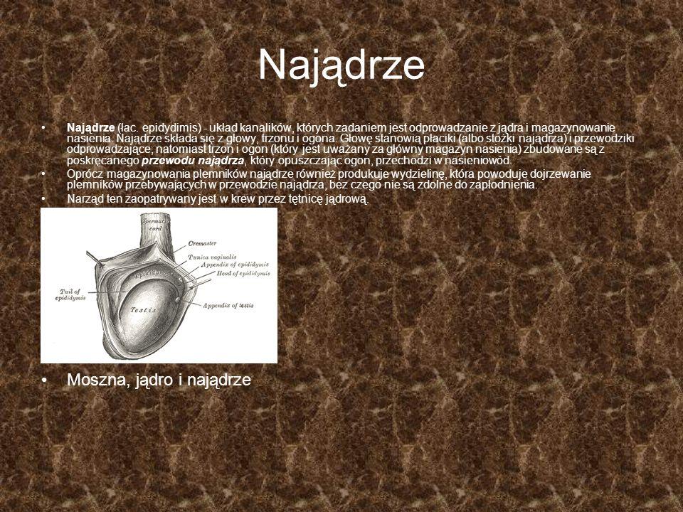 Najądrze Najądrze (łac. epidydimis) - układ kanalików, których zadaniem jest odprowadzanie z jądra i magazynowanie nasienia. Najądrze składa się z gło