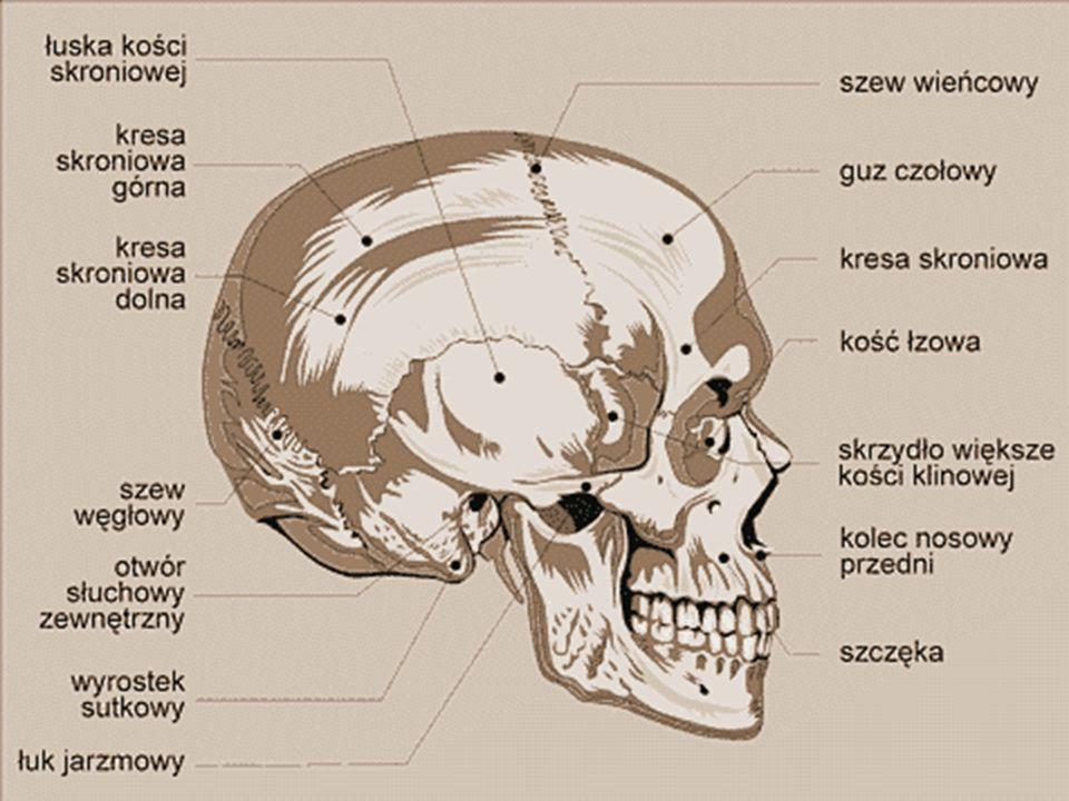 KOŚCI TWARZY. KOŚCI SZCZĘKI: - są dwie, umieszczone po obu stronach linii środkowej. Są połączone i tworzą środkową część kostnej struktury twarzy. W