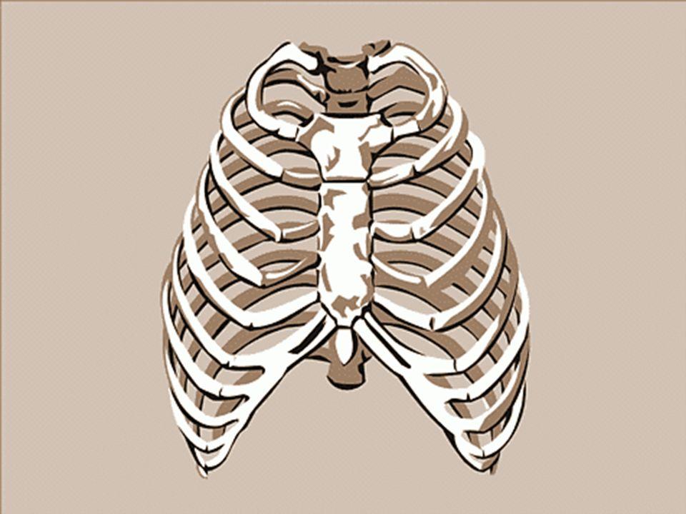 KOŚCI KLATKI PIERSIOWEJ Zbiór struktur kostnych okolicy piersiowej nosi nazwę klatki piersiowej. Klatka pieriowa jest konstrukcją ażurową. W jej skład