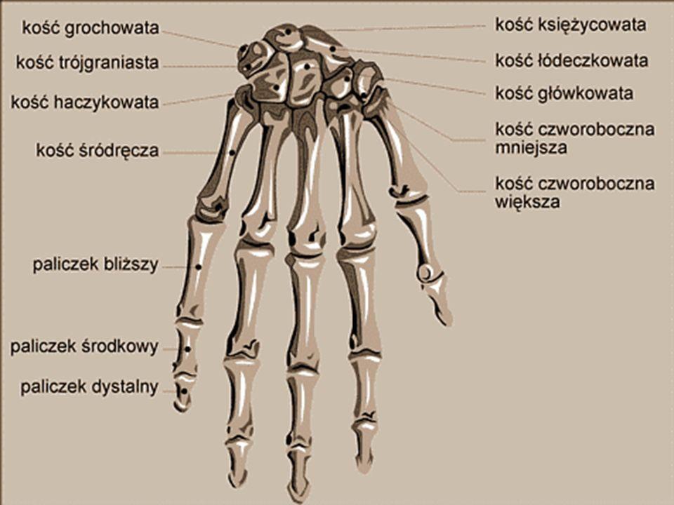 KOŚCI KOŃCZYN GÓRNYCH Konstrukcja szkieletu kończyny górnej zapewnia jej bardzo dużą ruchomość. Wyróżniamy w niej kości: ramienia, przedramienia i ręk