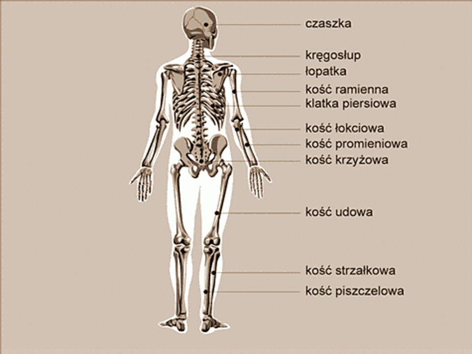 Szkielet: Szkielet człowieka można podzielić na dwie części: Osiową. (Czaszka, Kręgosłup,Osiową. Klatka Piersiowa) Obwodową. (Kończyny górne i dolne)O