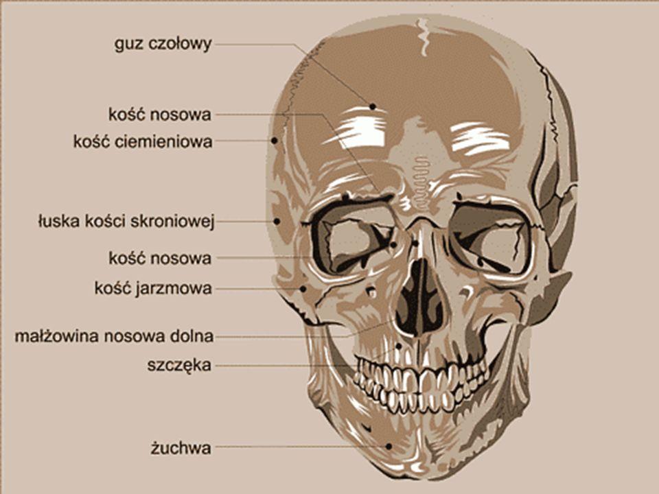 KOŚCI CZASZKI. Czaszka zbudowana jest z ośmiu różnych kości silnie połączonych ze sobą. Ich połączenia mają kształt krętych linii, zwanych szwami. W p
