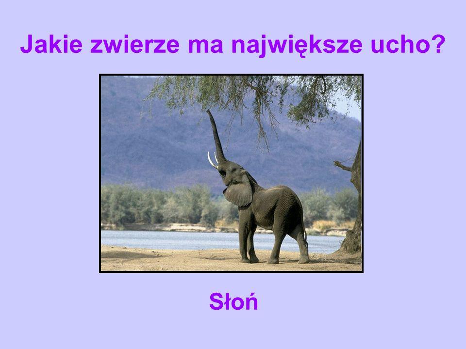 Jakie zwierze ma największe ucho? Słoń