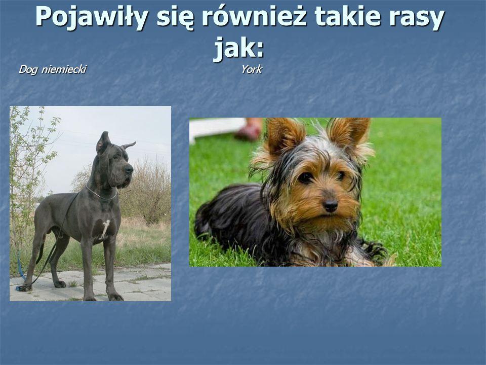 Pojawiły się również takie rasy jak: Dog niemiecki York