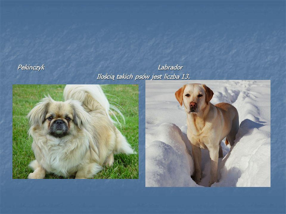 Pekinczyk Labrador Ilością takich psów jest liczba 13.