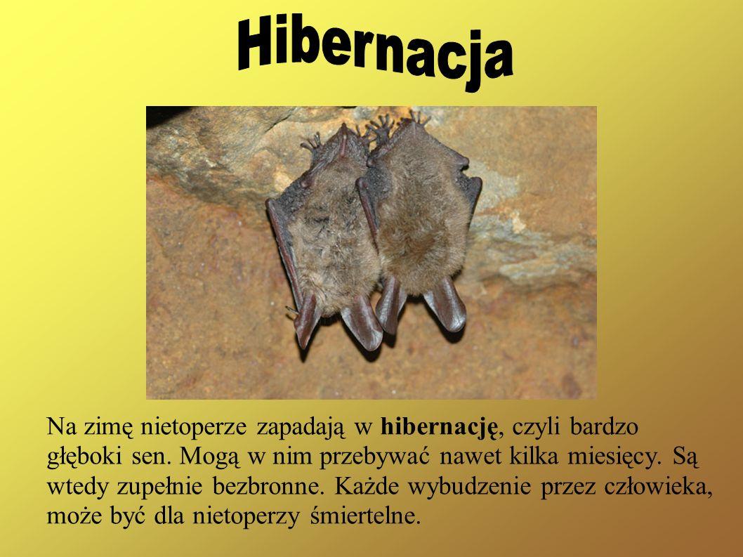 Na zimę nietoperze zapadają w hibernację, czyli bardzo głęboki sen. Mogą w nim przebywać nawet kilka miesięcy. Są wtedy zupełnie bezbronne. Każde wybu