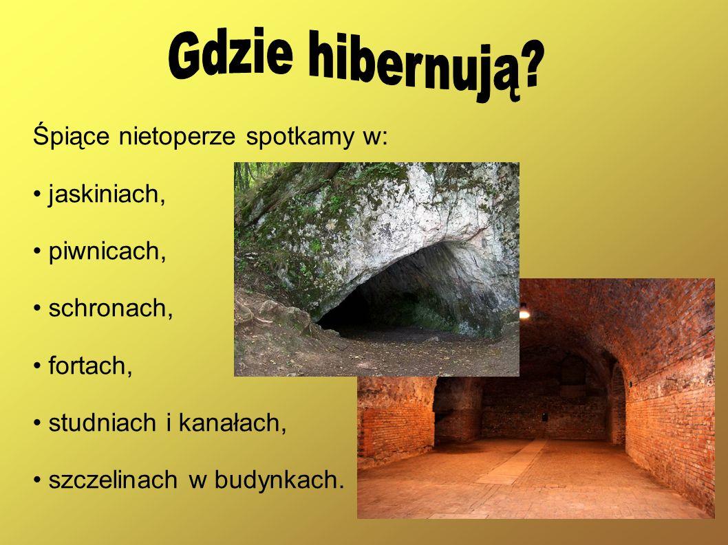 Śpiące nietoperze spotkamy w: jaskiniach, piwnicach, schronach, fortach, studniach i kanałach, szczelinach w budynkach.