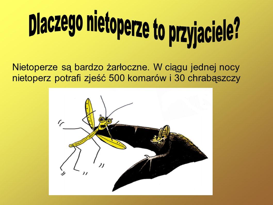Nietoperze są bardzo żarłoczne. W ciągu jednej nocy nietoperz potra zjeść 500 komarów i 30 chrabąszczy