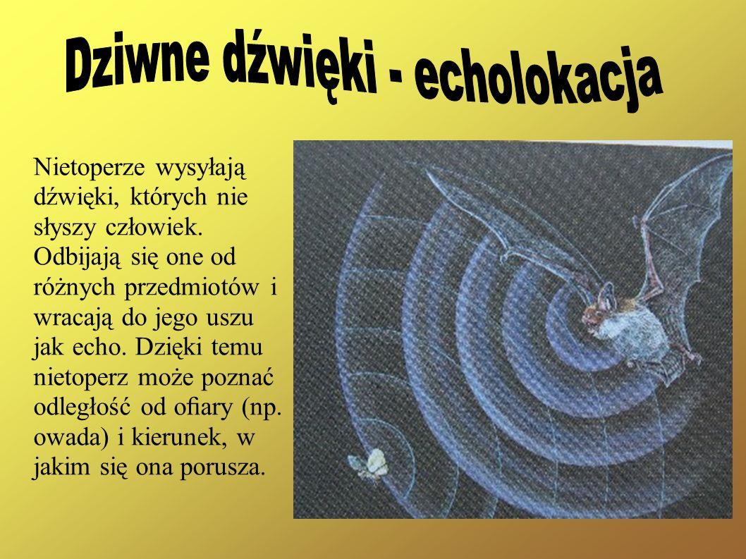 Nietoperze wysyłają dźwięki, których nie słyszy człowiek. Odbijają się one od różnych przedmiotów i wracają do jego uszu jak echo. Dzięki temu nietope