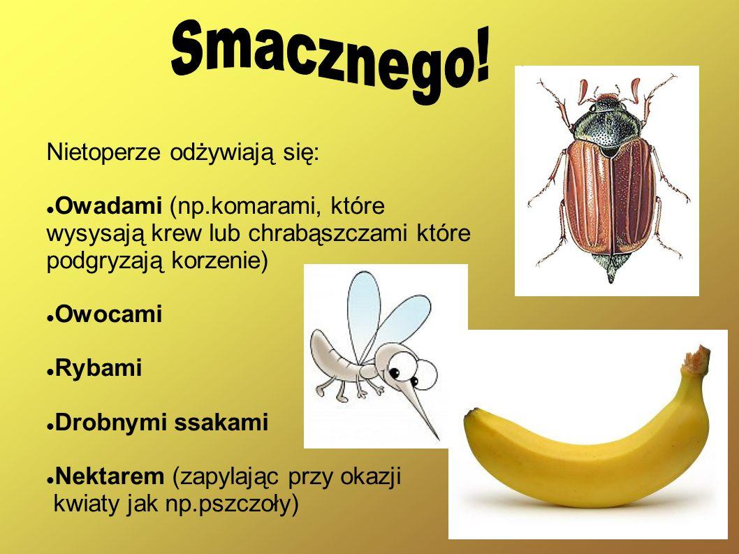 Nietoperze odżywiają się: Owadami (np.komarami, które wysysają krew lub chrabąszczami które podgryzają korzenie) Owocami Rybami Drobnymi ssakami Nekta