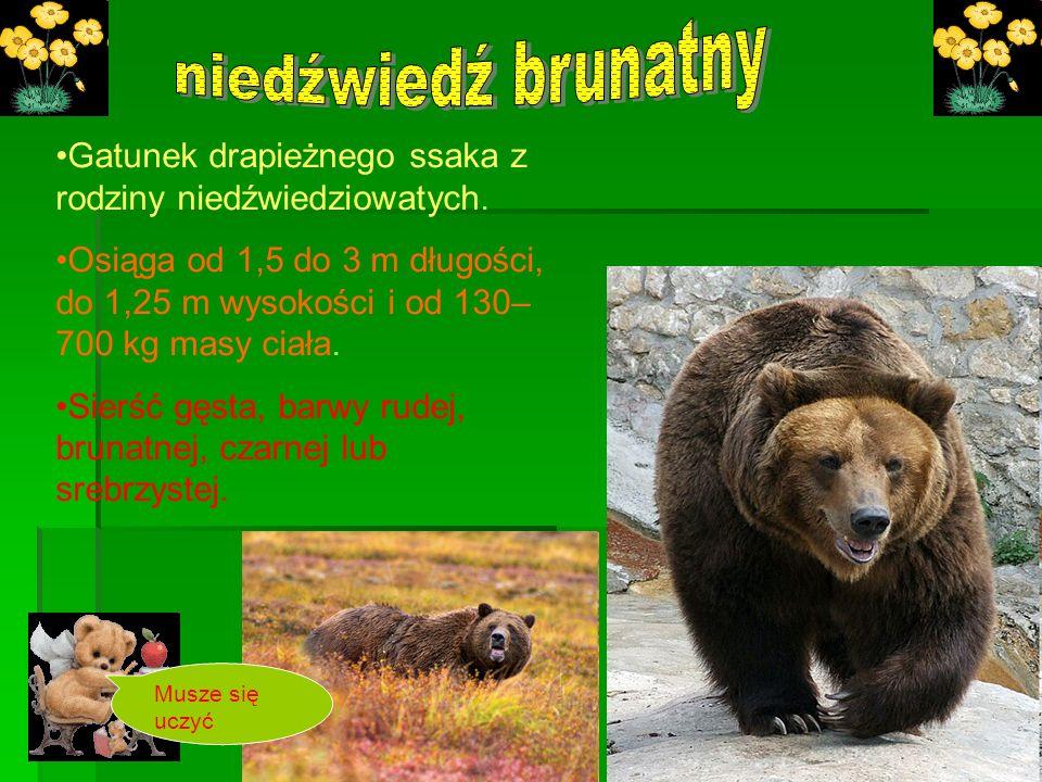 Gatunek drapieżnego ssaka z rodziny niedźwiedziowatych. Osiąga od 1,5 do 3 m długości, do 1,25 m wysokości i od 130– 700 kg masy ciała. Sierść gęsta,