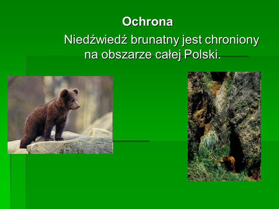 Ochrona Niedźwiedź brunatny jest chroniony na obszarze całej Polski.