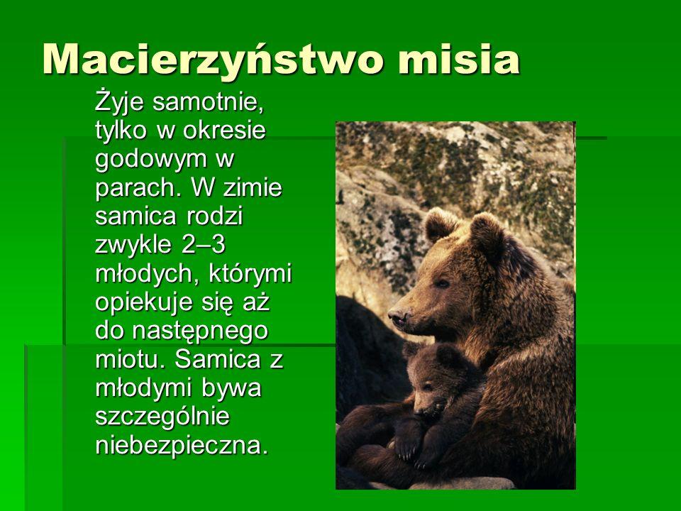Macierzyństwo misia Żyje samotnie, tylko w okresie godowym w parach. W zimie samica rodzi zwykle 2–3 młodych, którymi opiekuje się aż do następnego mi