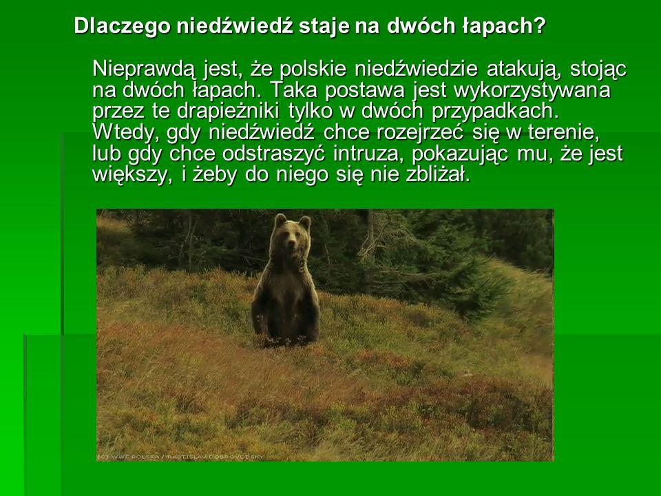 Dlaczego niedźwiedź staje na dwóch łapach? Nieprawdą jest, że polskie niedźwiedzie atakują, stojąc na dwóch łapach. Taka postawa jest wykorzystywana p