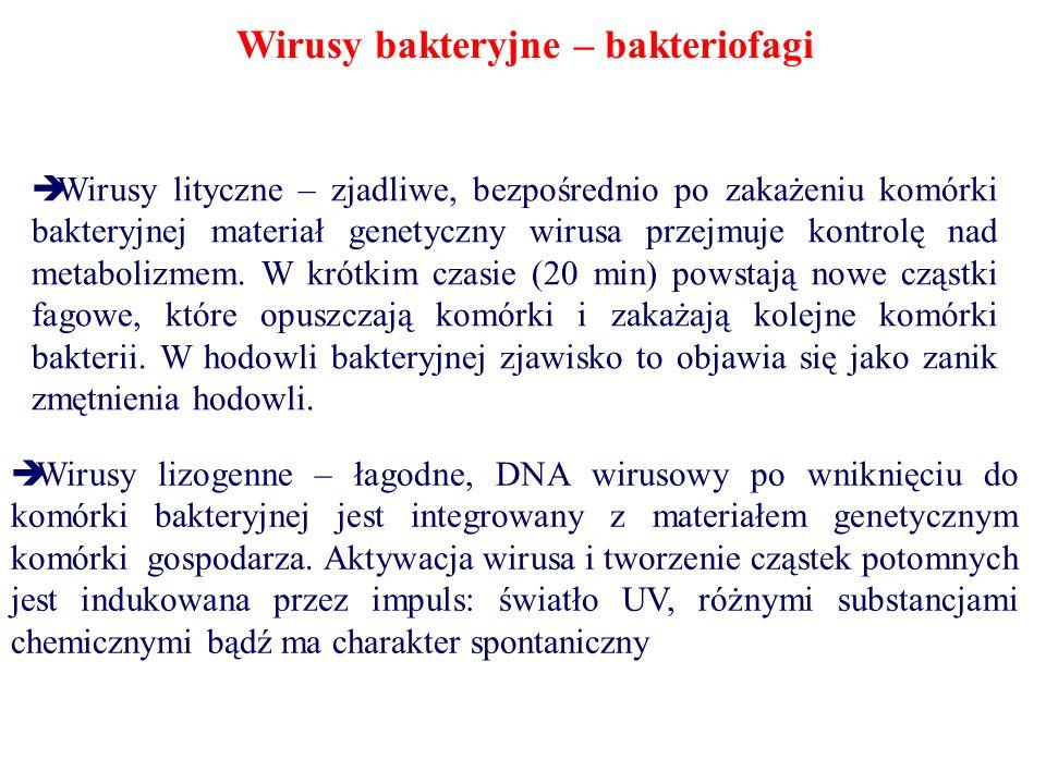 Wirusy bakteryjne – bakteriofagi Wirusy lityczne – zjadliwe, bezpośrednio po zakażeniu komórki bakteryjnej materiał genetyczny wirusa przejmuje kontro