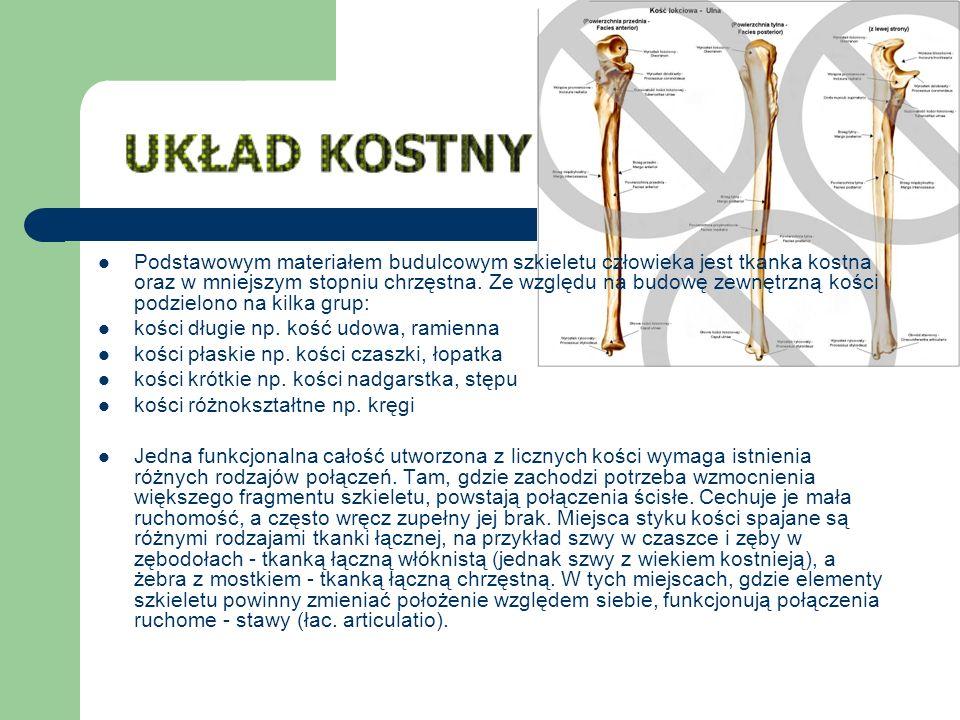 Podstawowym materiałem budulcowym szkieletu człowieka jest tkanka kostna oraz w mniejszym stopniu chrzęstna. Ze względu na budowę zewnętrzną kości pod