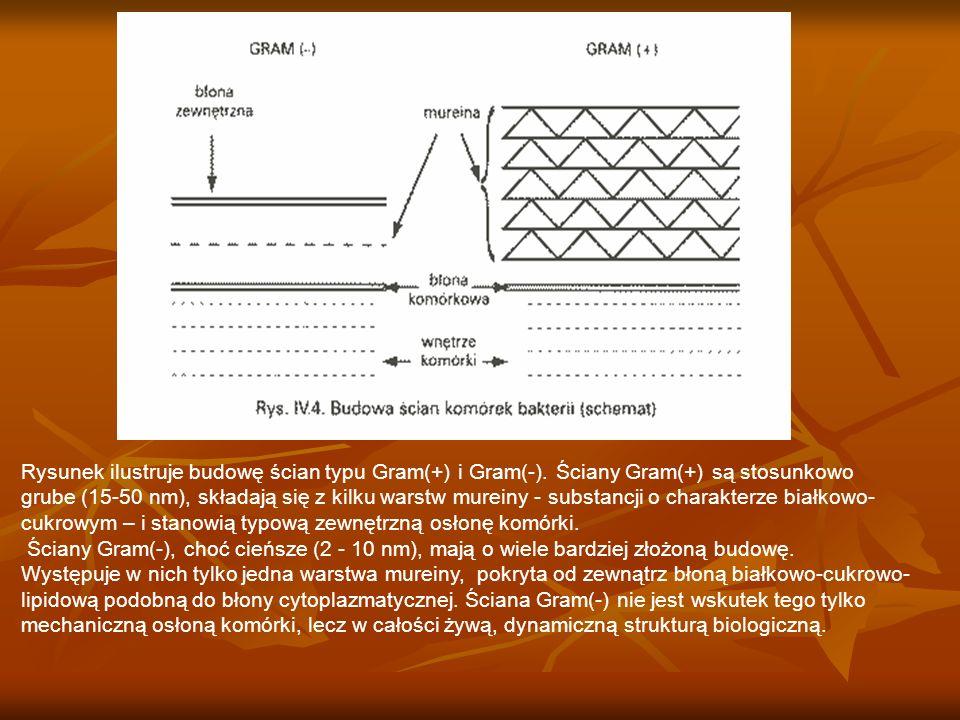 Rysunek ilustruje budowę ścian typu Gram(+) i Gram(-). Ściany Gram(+) są stosunkowo grube (15-50 nm), składają się z kilku warstw mureiny - substancji