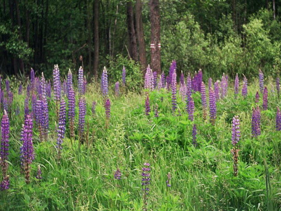 Cechy łubinu jako rośliny ekologicznej 1.Ważna z punktu ekonomicznego 2.Małe wymagania glebowe i klimatyczne 3.Nie wymaga nawożenia azotowego 4.Pozost