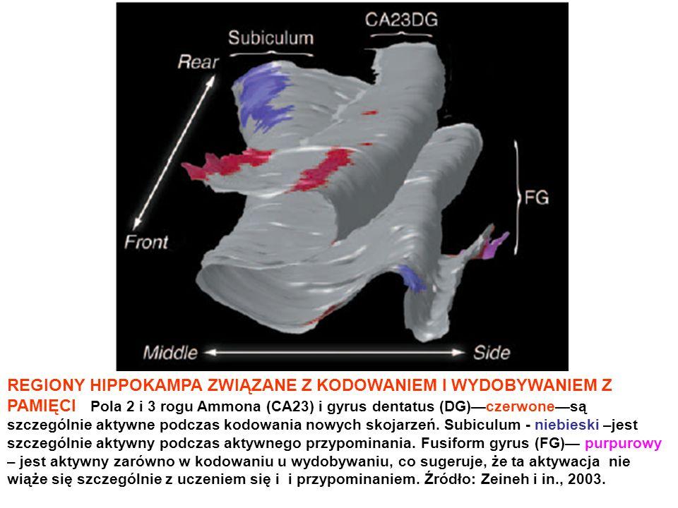 REGIONY HIPPOKAMPA ZWIĄZANE Z KODOWANIEM I WYDOBYWANIEM Z PAMIĘCI Pola 2 i 3 rogu Ammona (CA23) i gyrus dentatus (DG)czerwonesą szczególnie aktywne po