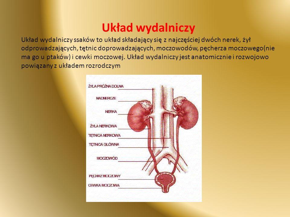 Układ wydalniczy Układ wydalniczy ssaków to układ składający się z najczęściej dwóch nerek, żył odprowadzających, tętnic doprowadzających, moczowodów,