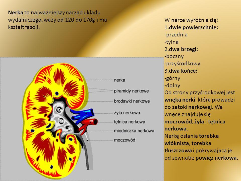W nerce wyróżnia się: 1.dwie powierzchnie: -przednia -tylna 2.dwa brzegi: -boczny -przyśrodkowy 3.dwa końce: -górny -dolny Od strony przyśrodkowej jes