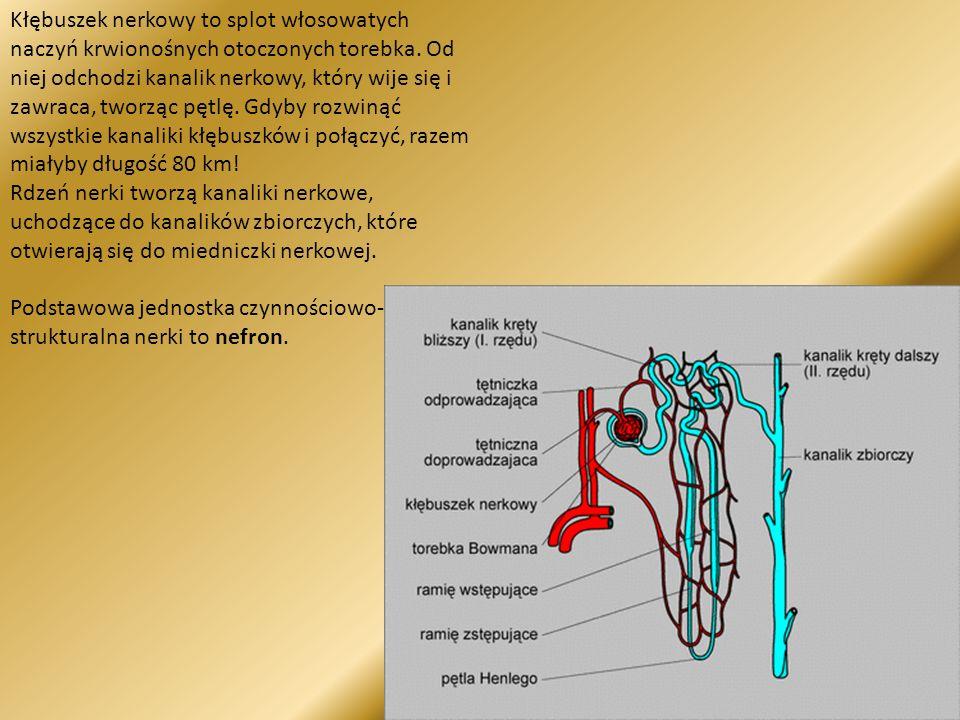 Kłębuszek nerkowy to splot włosowatych naczyń krwionośnych otoczonych torebka. Od niej odchodzi kanalik nerkowy, który wije się i zawraca, tworząc pęt