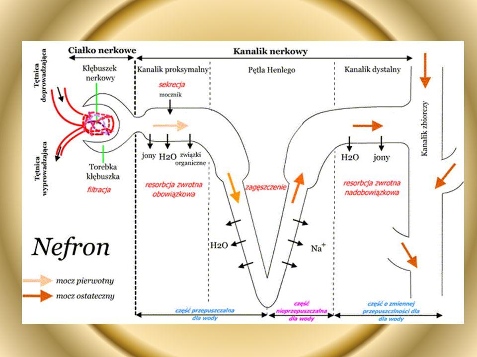 Funkcje nefronu: -filtracja kłębkowa - zachodzi ona w torebce Bowmana, która otacza kłębek naczyń włosowatych tętniczych (jeden z czynników warunkujących wysokie ciśnienie hydrostatyczne krwi), w jej wyniku powstaje mocz pierwotny jako przesącz osocza krwi, do którego nie przedostają się tylko elementy morfotyczne krwi oraz wielocząstkowe białka, a zawiera glukozę, aminokwasy, sole mineralne, witaminy, mocznik.