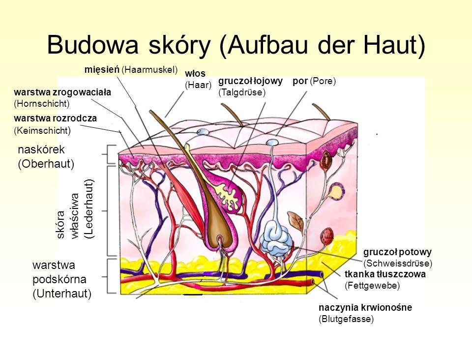 Budowa skóry (Aufbau der Haut) naskórek (Oberhaut) skóra właściwa (Lederhaut) warstwa podskórna (Unterhaut) warstwa rozrodcza (Keimschicht ) warstwa z