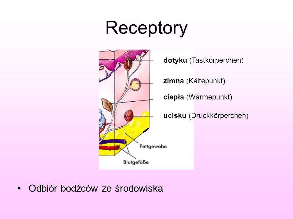 Receptory Odbiór bodźców ze środowiska dotyku (Tastkörperchen) zimna (Kältepunkt) ciepła (Wärmepunkt) ucisku (Druckkörperchen)