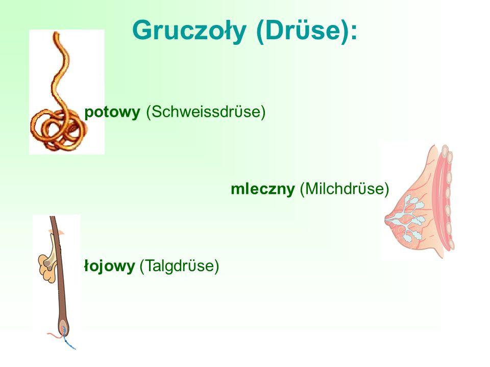 Gruczoły (Drϋse): łojowy (Talgdrϋse) potowy (Schweissdrϋse) mleczny (Milchdrϋse)
