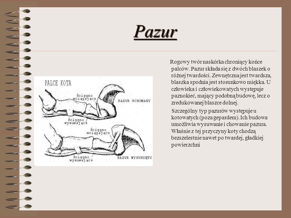 Pazur Rogowy twór naskórka chroniący końce palców. Pazur składa się z dwóch blaszek o różnej twardości. Zewnętrzna jest twardsza, blaszka spodnia jest