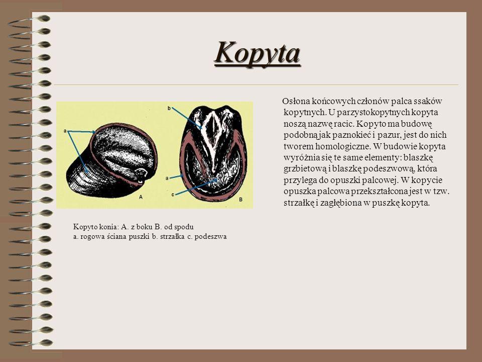 Kopyta Osłona końcowych członów palca ssaków kopytnych. U parzystokopytnych kopyta noszą nazwę racic. Kopyto ma budowę podobną jak paznokieć i pazur,