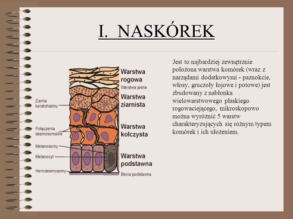 I. NASKÓREK Jest to najbardziej zewnętrznie położona warstwa komórek (wraz z narządami dodatkowymi - paznokcie, włosy, gruczoły łojowe i potowe) jest