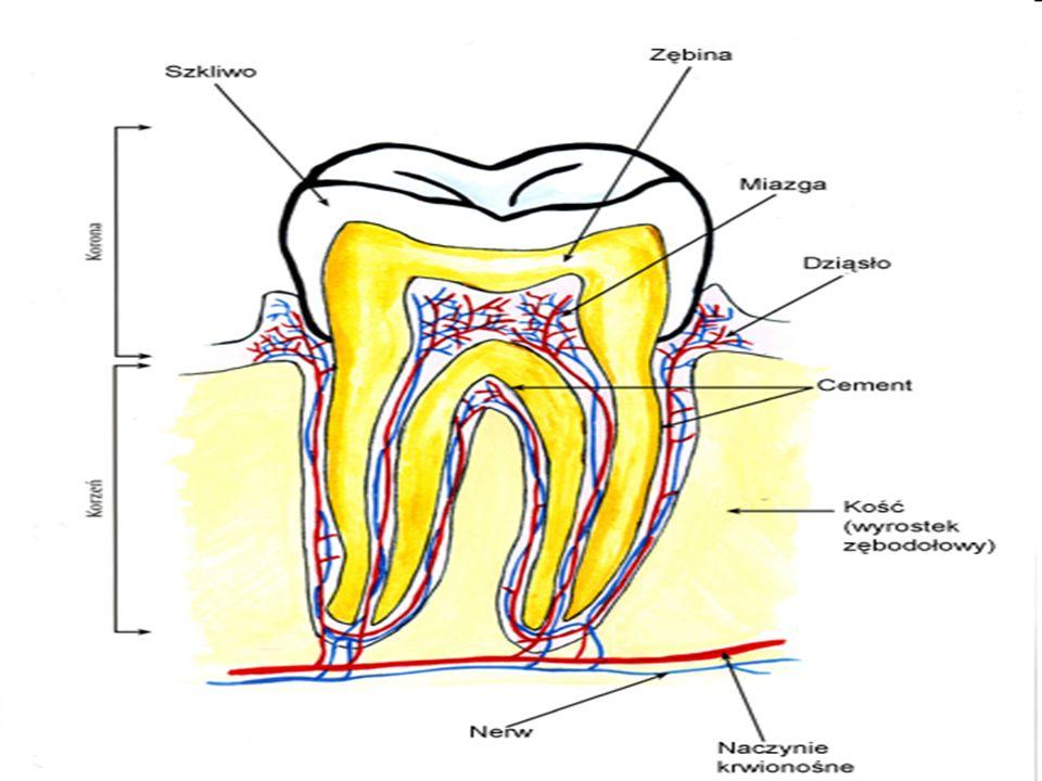 Zęby mleczne a stałe.