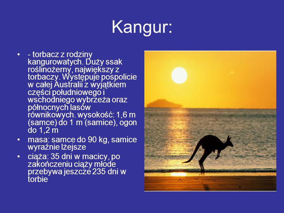 Kangur: - torbacz z rodziny kangurowatych. Duży ssak roślinożerny, największy z torbaczy. Występuje pospolicie w całej Australii z wyjątkiem części po